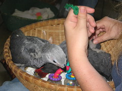 birds africangrey parrots