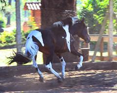 Saltando solto na pista (Paty Birchal) Tags: horse animal cavalo pampa campolina
