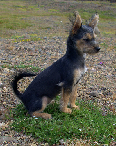Why No Pet Dogs In Iceland