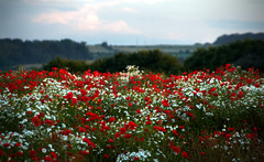 one dreamy evening (Ray Byrne) Tags: red white field clouds landscape evening northumberland poppies canon350d landscapephotography raybyrne alnvalley byrneoutcouk webnorthcouk