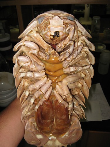 Tech and Sports News  Entertainment  Web and Current EventsGiant Isopod Edible