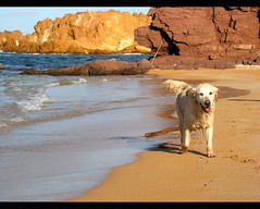 Golden Island (JFabra) Tags: madrid sea dog beach canon golden mar twilight spain cabo mediterranean mediterraneo labrador playa perro cape 5bestdogs retriver menorca baleares goldenretriver minorca balearic eos400d canoneos400d españa jfabra