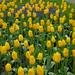 Tulipanes en Keukenhof, Holanda