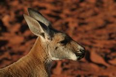 Kangurs