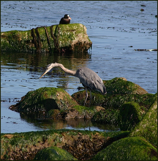 Scrapy Heron and a Friend