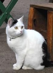 (A-M-N) Tags: white cat kissablekat