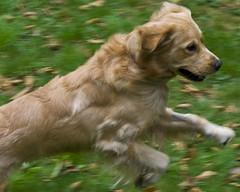 Ready to Run (longfamilytales) Tags: dog pet smile oregon goldenretriever happy gold golden jump expression run bauer leap actionshot jackbauer prance supershot aplusphoto diamondclassphotographer platinumheartaward