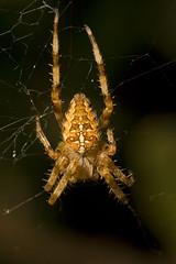 "Garden Cross Spider (Araneus diadema(19) • <a style=""font-size:0.8em;"" href=""http://www.flickr.com/photos/57024565@N00/1411882382/"" target=""_blank"">View on Flickr</a>"