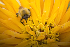 flower with bee (david j read) Tags: supershot ysplix focuslegacy thebestyellow