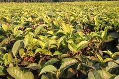 Tea plantation (litrate) Tags: tea malawi teaplantation thyolo