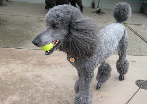 poodle with ball