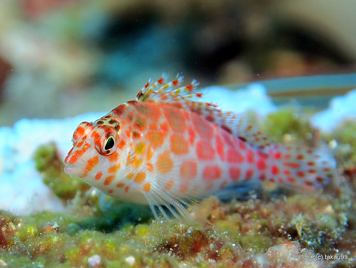 Coral hawkfish, Similan Islands Thailand