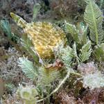 IMG_5485are Planehead Filefish (Stephanolepis hispidus) thumbnail