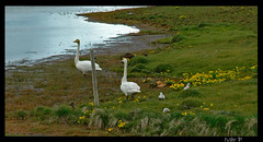 Swanes with young ones on lftanes (IvarPeturs) Tags: nature parents young svanir swanes lftanes lftir