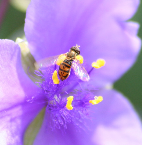 Honey bee on spiderwort