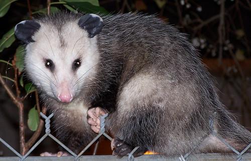 My First Possum