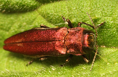 """Hawthorn Jewel Beetle (Agrilus sinuatus) • <a style=""""font-size:0.8em;"""" href=""""http://www.flickr.com/photos/57024565@N00/705060896/"""" target=""""_blank"""">View on Flickr</a>"""