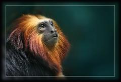 Lionheart... (hvhe1) Tags: nature animal gold monkey bravo searchthebest wildlife mane tamarin leontopithecuschrysomelas interestingness6 goldenheadedtamarin supershot outstandingshots specanimal leeuwaapje animalkingdomelite hvhe1 hennievanheerden anawesomeshot adoublefave