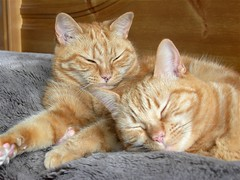 Sleepy sisters (Mrs eNil) Tags: sleeping orange cats sisters ginger bed nikon kitten feline martha tabby pussy kittens molly coolpix felines paws p2 pussies gingercat gingers snoozing gingercats orangecats snoozy nikoncoolpixp2 cc100 oreengeness gingerkitty gingerkitties