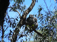 Tawny Frogmouths (ianmichaelthomas) Tags: friends birds australiannativebirds tawnyfrogmouths wildlifeofaustralia animalcraze worldofanimals poundbendwarrandyte flickrlovers vosplusbellesphotos flickrsbestcreatures