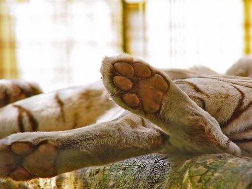 White tiger's feet by Tambako the Jaguar.