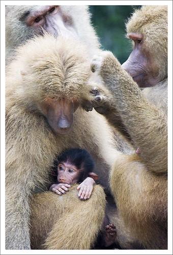 Hamadryas Baboons