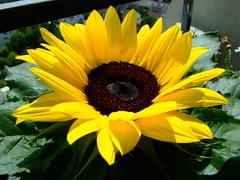 Sonnenblume / Sunflower (only_point_five) Tags: flower germany deutschland fuji balcony balkon sunflower blume blüte mainz rheinlandpfalz sonnenblume helianthusannuus rhinelandpalatinate s6500fd flowerpicturesnolimits