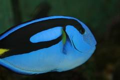 St Petersburg Aquarium (RNRobert) Tags: fish stpetersburg aquarium pier underwater nemo tampabay florida bluetang