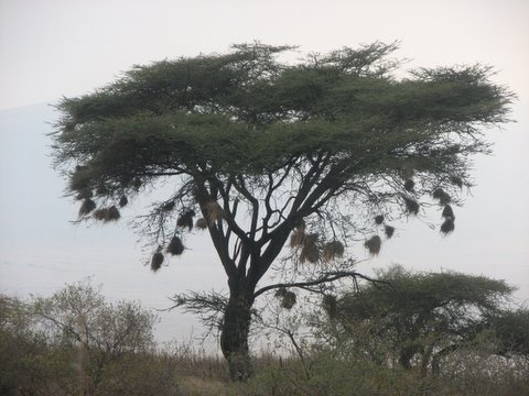 Acacia Tree with Weaver Bird Nests