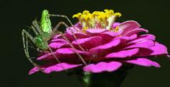 Green Lynx Spider #2 (ScreaminScott) Tags: green topv111 spider arachnid naturesfinest splendiferous macromarvels