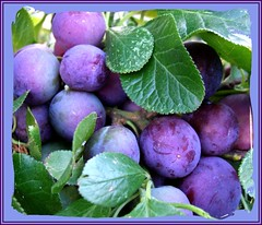 Blue plums (tina negus) Tags: blue fruit worcestershire plums soe overbury blueribbonwinner 25faves wowiekazowie amazingamateur brillianteyejewel macromix defendersmacro exploreunexplored themacrogroup alohafroup