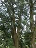 96.02.28百年肖楠巨木群DSCN9073