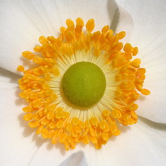 Good day sunshine! (cattycamehome) Tags: flowers summer orange sun sunlight white flower macro green sunshine yellow tag3 taggedout happy petals bravo tag2 colours tag1 bright centre sunny stamen lime anenome catherineingram september2007 xoxoxoxo allrightsreserved japaneseanenome abigfave cattycamehome soulsresonance