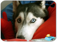 * Mirame * (aunqtunolosepas) Tags: dog pet pets cute dogs look animal closeup husky bea sweet retrato adorable huskies cutie luna perro mirar perros animales cerca lovely cuteness mirada mascota
