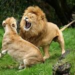 2007 01 20 (036ces) Lions @ Auckland Zoo-300d-10