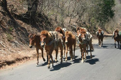 Horses. Sumbawa Island.