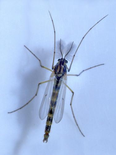 19841003a_EPSON004_Chironomus plumosus L., 1758 - (zanzara piumata)