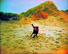 untitled (SFD (professional loungist)) Tags: flowers dog 120 film beach southwales holga xpro sand exposure double llangennith marramgrass thegower fennick labracollie