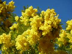 Mimosa (lrene) Tags: yellow jaune giallo mimosa naturesfinest fantasticflower mywinners colorphotoaward vosplusbellesphotos lrene