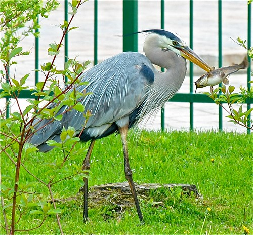 Great blue heron - dealing with his catch by Shiny Dewdrop
