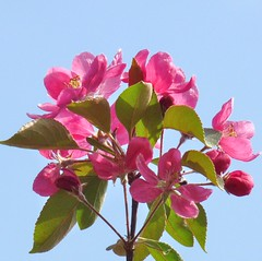Blossom delight (Cajaflez) Tags: pink blue sky holland green spring blauw blossom arboretum wageningen lucht bloesem roze gelderland voorjaar awesomeblossoms saariysqualitypictures