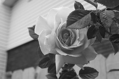 A Rose by any other name may smell as sweet but a Rose in Black and White...? (CaptainHowdy01) Tags: city flowers chris red roses lake flower green beautiful beauty leaves rose yellow canon eos rebel utah leaf bush blossom breath salt fragrant bloom xs taking peterson blooming