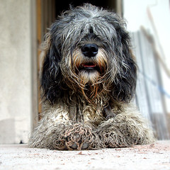 Vagabundo (Romulo fotos) Tags: hairy dog chien animal hair peace homeless paz happiness canine perro dirt canino hippie felicidad wisdom sabiduria abuse sansabri camuflado maltrato cheveux pelos tranquilidad camouflaged poils vagabundo suciedad melena lasagesse dabus lebonheur animalneglect lapaix descuido camoufl melenudo romulomoyaperalta delangligencedanimaux delasalet decheveux