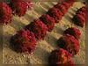 1010 Al 101026 (thethi (pls, read my 1st comment, tks a lot)) Tags: nature légume jardin saver octobre automne rouge red ligne anhée namur wallonie belgique belgium laitue bestof2010 provincedenamur végétauxquot faves16 setoctobre setvegetaux setrural setsaveurs