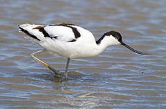 Avocet (Andrew Haynes Wildlife Images) Tags: bird nature wildlife norfolk nwt wader cleymarsh canon7d ajh2008