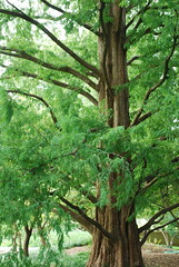 Dawn redwood (Metasequoia glyptostroboides)