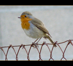 Rouge-gorge (Mystycat =^..^=) Tags: bird robin oiseau rougegorge abigfave qualitygold