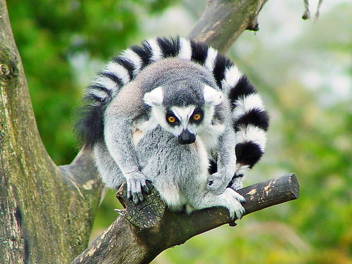movie madagascar lemur king julien  6 King Julien lemur brothers youd want to see while in Madagascar