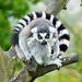 Funny lemur