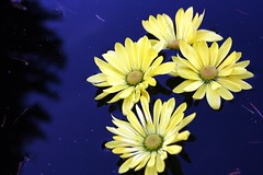 Fling (SolsticeSol) Tags: flowers blue reflection pinetree bluewater calming floating poetic pineneedles serene float tranquil yellowflowers deepblue beautifulflowers prettyflowers prettyflower flowersinwater flowerimage picturesofflowers sereneimage flowersfloating tranquilimage beautifulflowerimage beautifulflowerimages beautifulfloralimages byteresalett bysolsticesol
